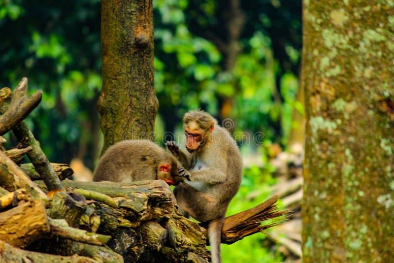 Macaque selvagem do Toque imagens de stock royalty free