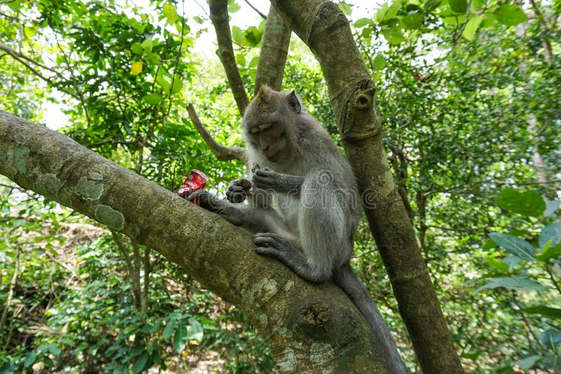 Macaque sitting on the tree, Monkey Forest in Ubud, Bali stock image