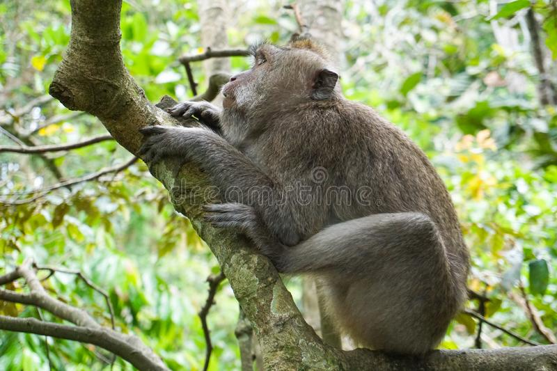Macaque sitting on the tree, Monkey Forest in Ubud, Bali royalty free stock photo