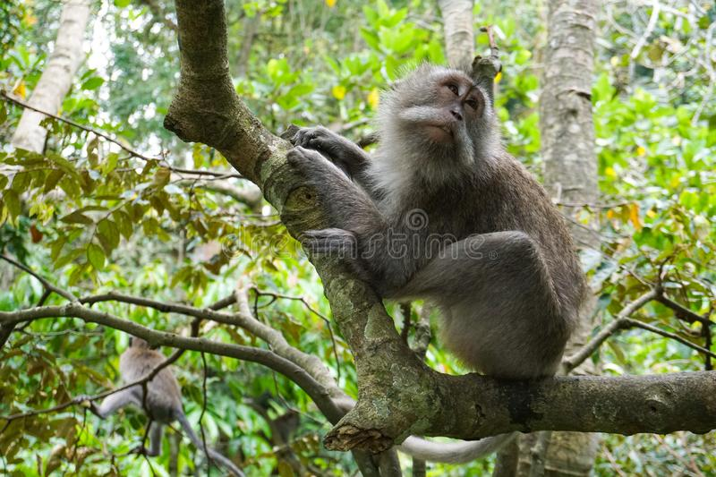 Macaque sitting on the tree, Monkey Forest in Ubud, Bali stock photos