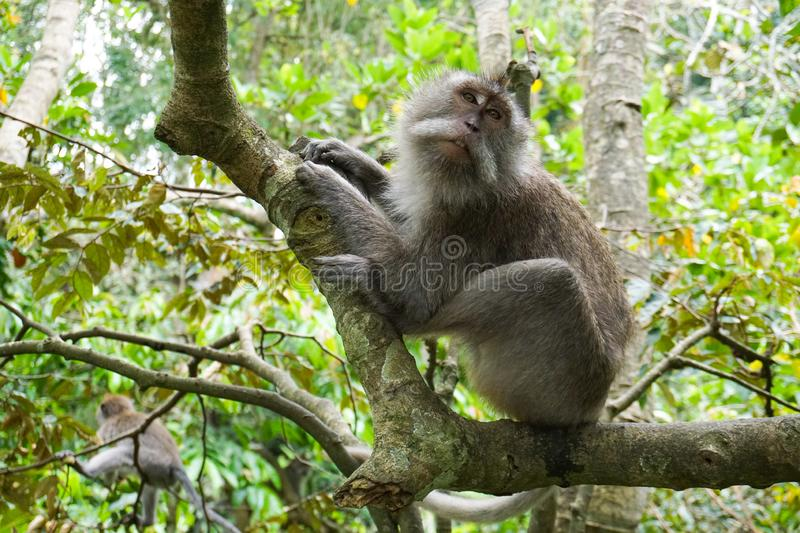 Macaque sitting on the tree, Monkey Forest in Ubud, Bali royalty free stock images