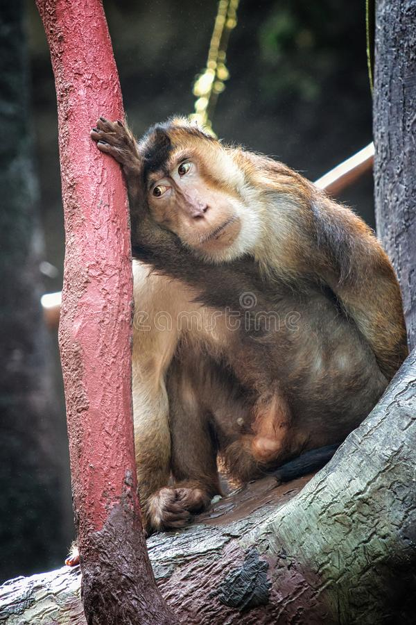 Macaque. Sitting on the tree with sad face royalty free stock photo