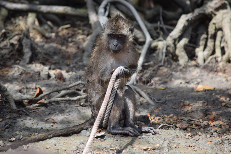 Macaque in snags, playing with a rope stock photos