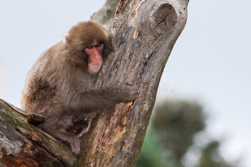 Download Macaque (Sneeuw) Aap stock afbeelding. Afbeelding bestaande uit primaat - 39112269