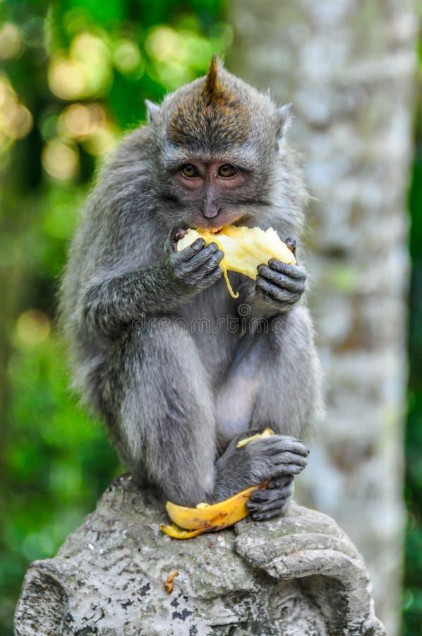 Macaque som äter bananen i apaskog i Ubud, Bali arkivfoto