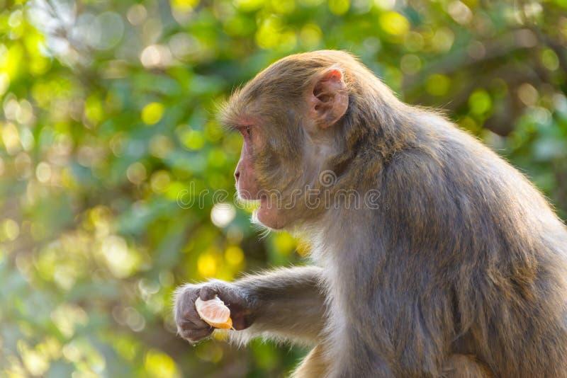 Download Macaque Som äter En Apelsin Fotografering för Bildbyråer - Bild av tempel, park: 37349469