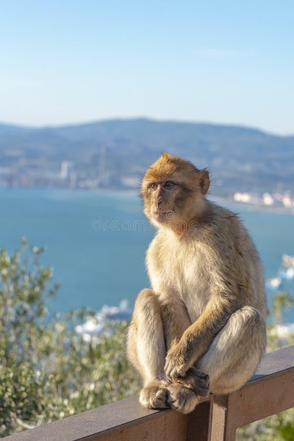 Macaque som håller ögonen på havet fotografering för bildbyråer