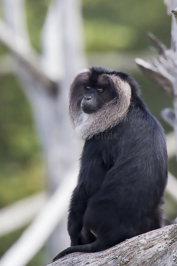 Macaque suivi par lion image stock