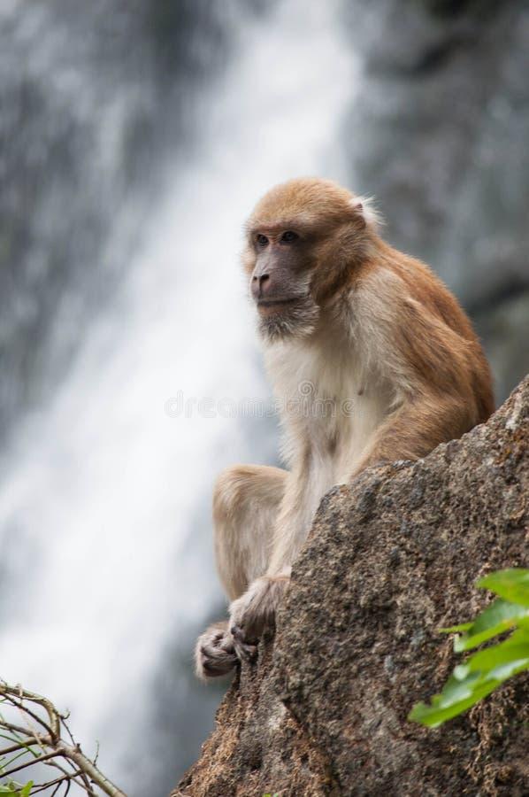 Macaque suivi par porc photo stock