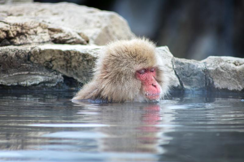 Macaque In Water. Famous hot spring in The Nagano mountains where monkeys will enter the hot water to stay warm stock image