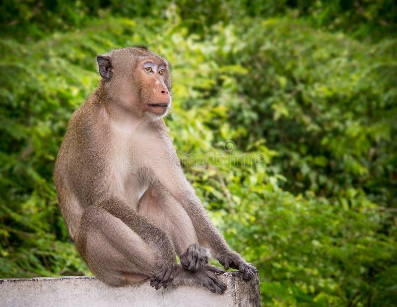 Macaqueaap stock afbeelding