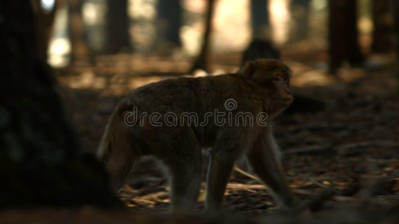 Macaqueaap in de bos, Marokkaanse atlas van Azrou royalty-vrije stock foto
