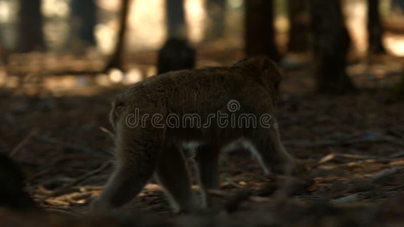 Macaqueaap in de bos, Marokkaanse atlas van Azrou stock afbeeldingen