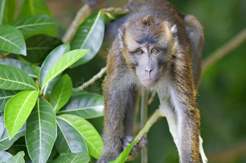 Macaqueapa arkivfoton