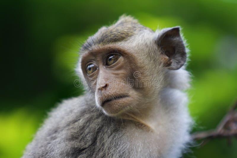 macaqueapa royaltyfri foto