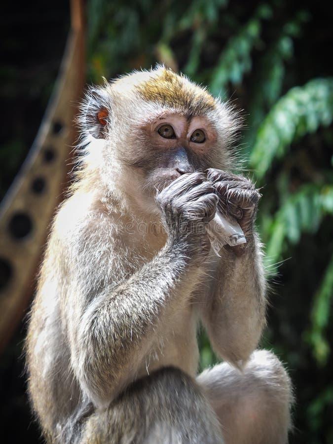 Macaqueapa på Batu grottor, Kuala Lumpur, Malaysia royaltyfri foto