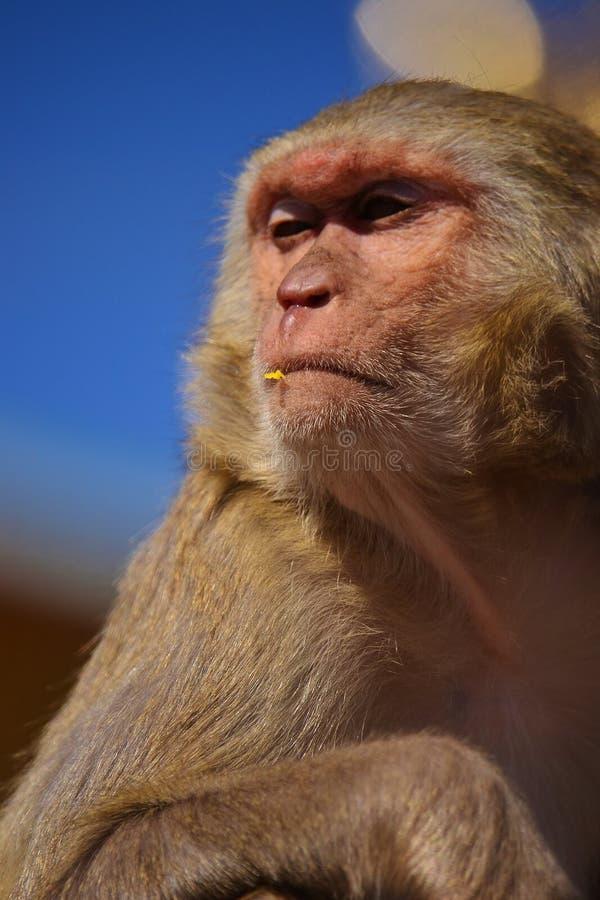 Macaqueapa som coolt ser royaltyfri bild