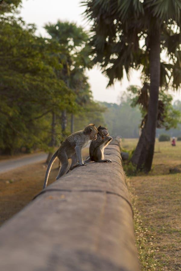 Macaqueapor som äter på forntida, fördärvar av Angkor, Cambodja arkivbilder