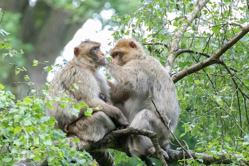 Macaqueföräldrar med behandla som ett barn i treetopsna arkivfoto