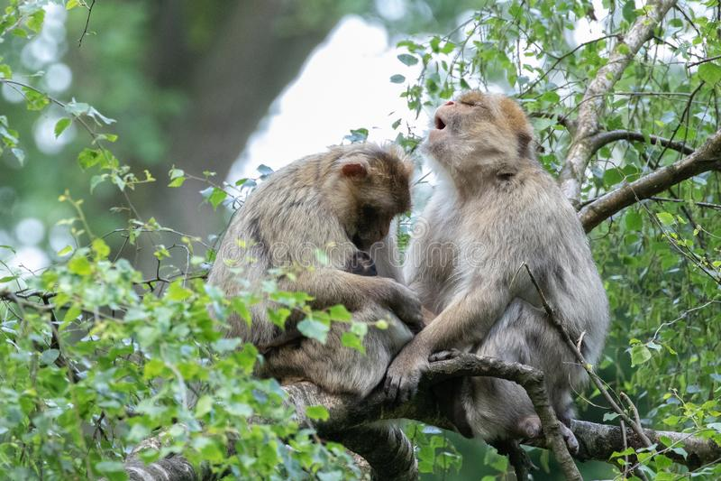 Macaquefamiljen med behandla som ett barn i träden royaltyfri foto