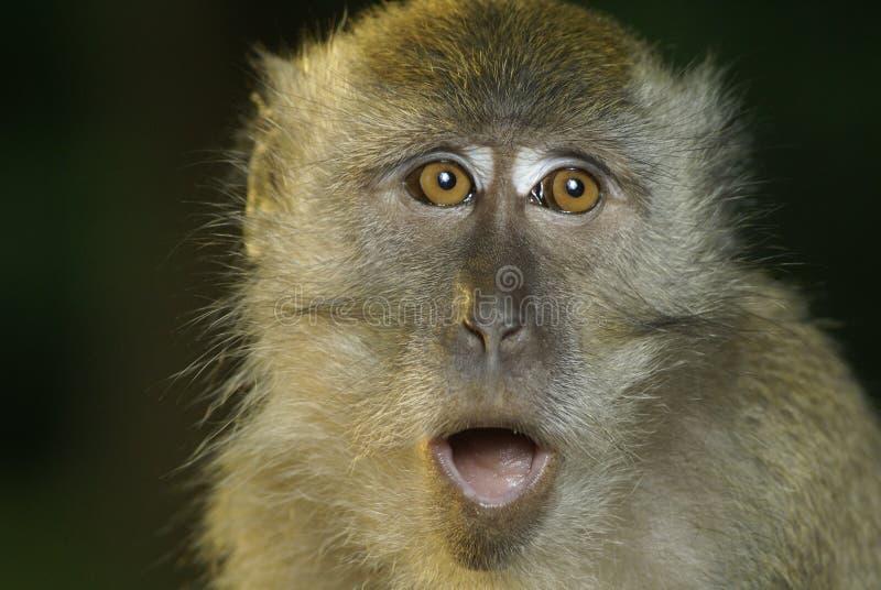 macaqueoopsprimat royaltyfria bilder