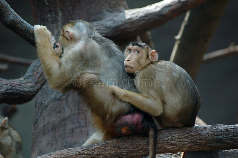 Macaques royalty free stock photos
