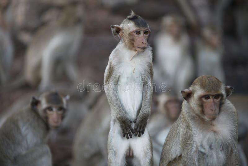 macaques royaltyfria foton
