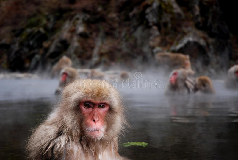 Macaques. In a hot spring stock photos