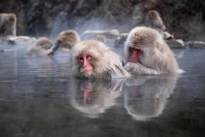 Macaques. In a hot spring royalty free stock image