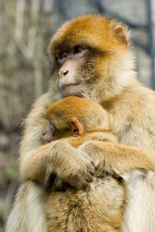 Macaques fotografia de stock royalty free