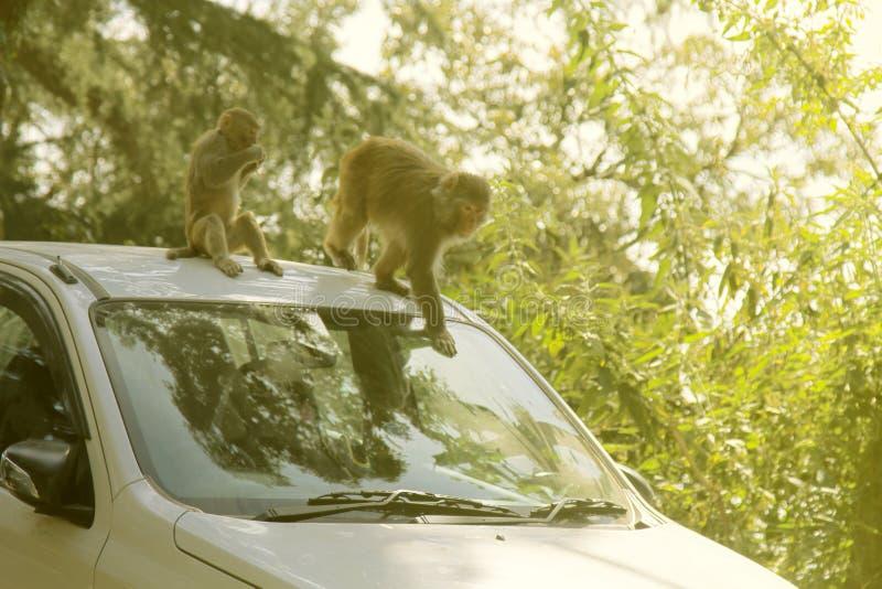 Macaques aanvallende toeristen in auto om voor voedsel te bedelen royalty-vrije stock afbeelding