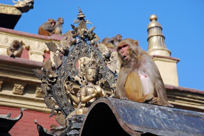 Macaques apes - Monkey Temple - Kathmandu - Nepal. Macaques old world monkeys to the fleas - Rhesus monkey - by the Swayambhunath Stupa or Monkey Temple royalty free stock image