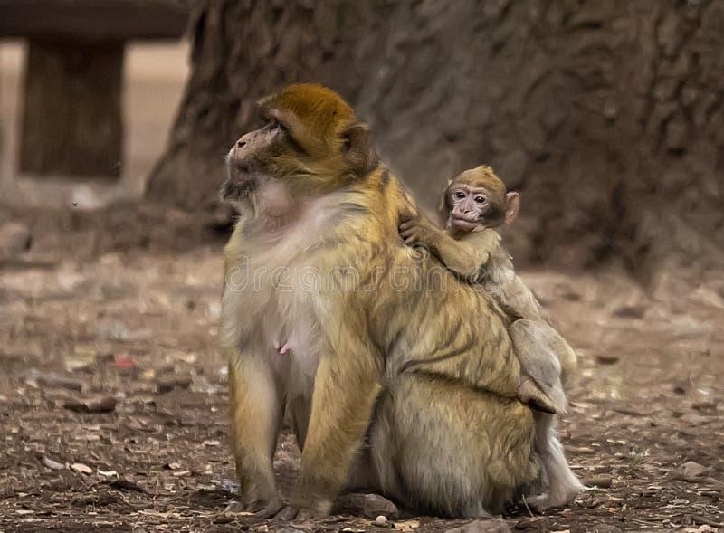 Macaques de Barbary imágenes de archivo libres de regalías