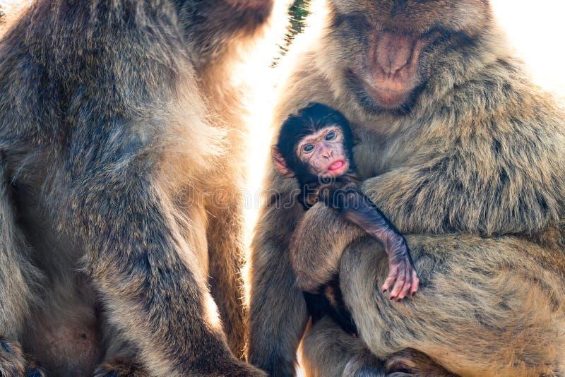 Macaques de Barbary imagen de archivo