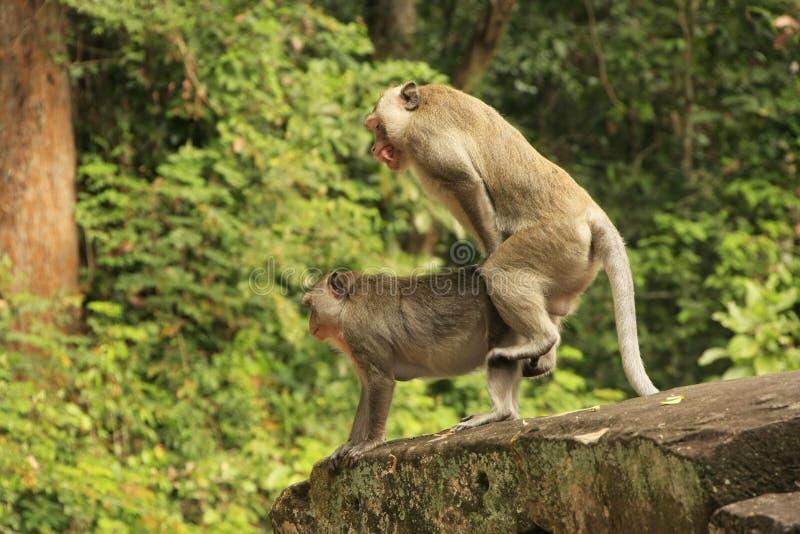 Macaques de cauda longa imagens de stock