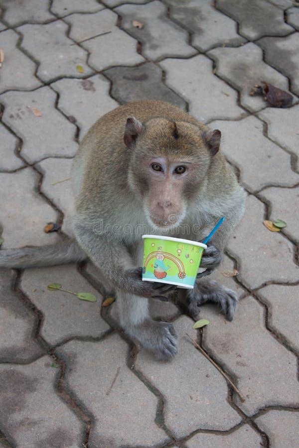 Macaques de cauda longa foto de stock royalty free