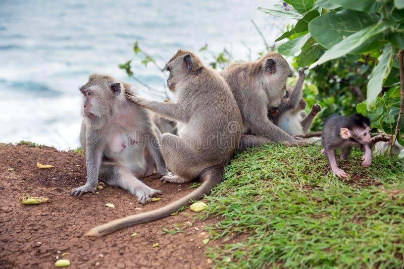 Macaques de cauda longa fotos de stock