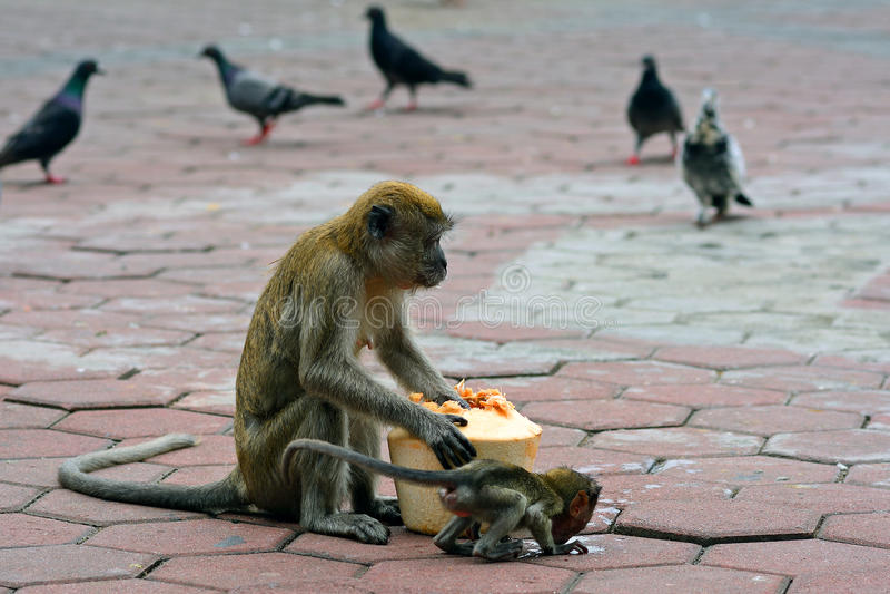 Macaques de cauda longa, Gua Batu, Malásia foto de stock