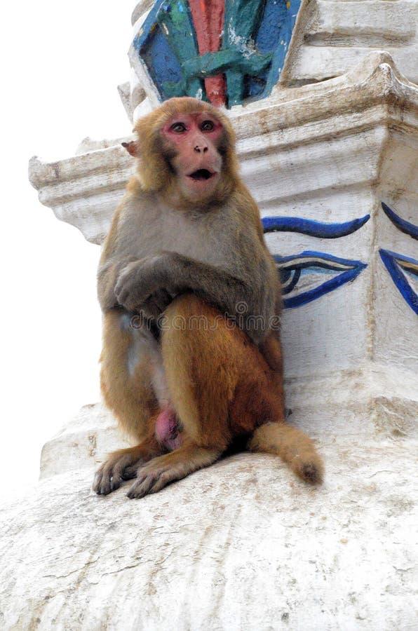 Macaques de rhésus chez Swayambhunath Stupa photos stock