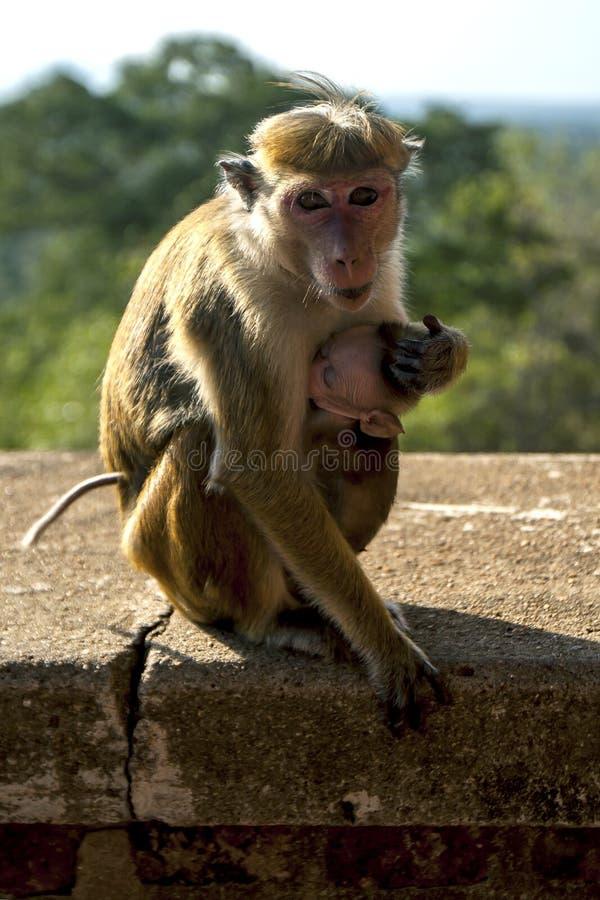 Macaques de um Toque que alimentam seu bebê na escadaria que conduz a rocha de Sigiriya em Sri Lanka fotografia de stock royalty free