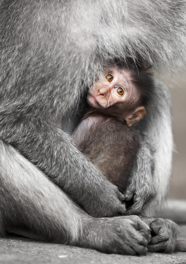 Macaques del cynomolgus de Cub con su madre fotos de archivo libres de regalías