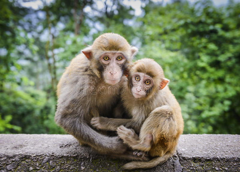 Macaques em China fotos de stock royalty free