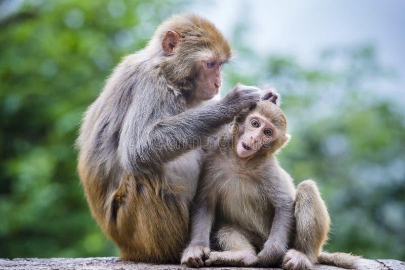 Macaques em China imagens de stock