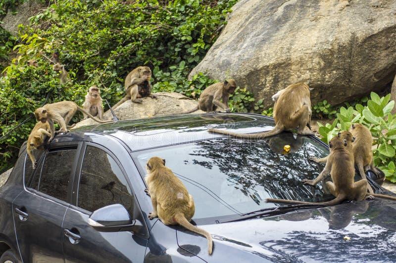 Macaques het spelen op een auto stock fotografie