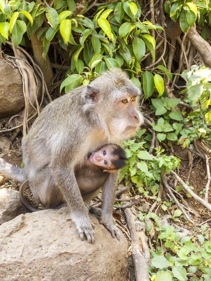 Macaques indonesios Habitante del bosque Monos sagrados de Bali del bosque Fascicularis del Macaca fotos de archivo libres de regalías