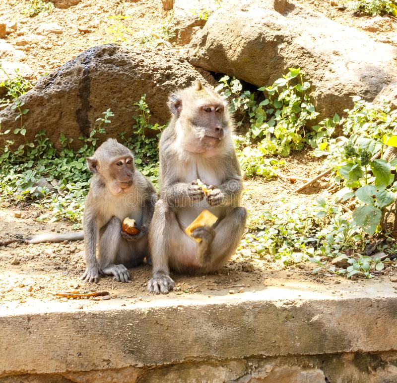 Macaques indonesios Habitante del bosque Monos sagrados de Bali del bosque Fascicularis del Macaca fotografía de archivo