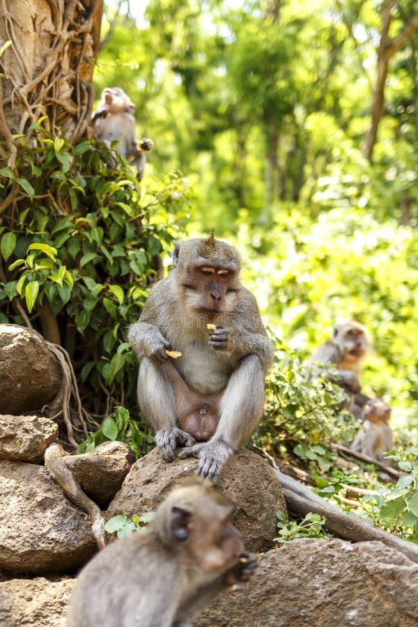 Macaques indonesios Habitante del bosque Monos sagrados de Bali del bosque Fascicularis del Macaca imagen de archivo