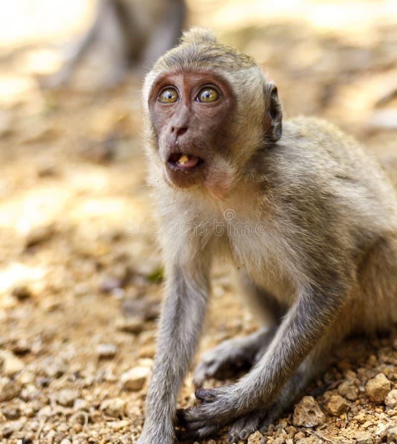 Macaques indonesios Habitante del bosque Monos sagrados de Bali del bosque Fascicularis del Macaca fotos de archivo