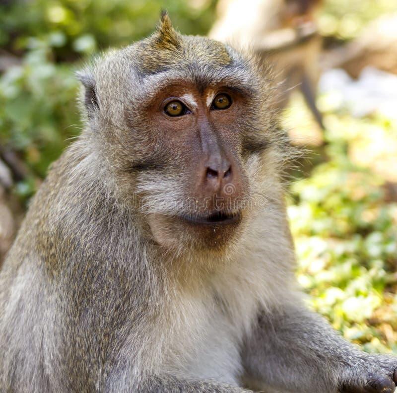 Macaques indonesios Habitante del bosque Monos sagrados de Bali del bosque Fascicularis del Macaca foto de archivo libre de regalías