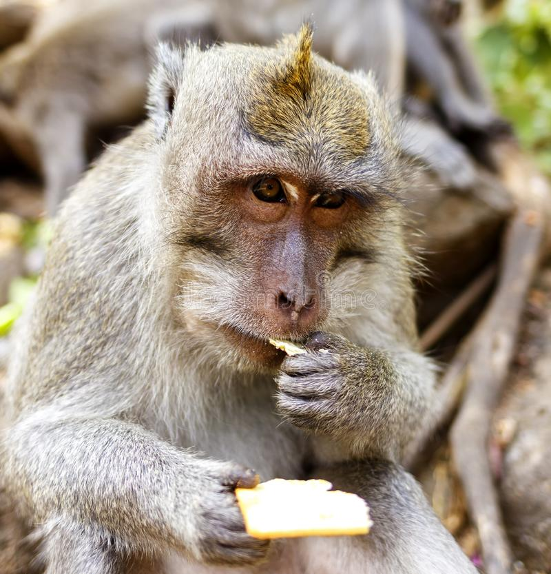 Macaques indonesios Habitante del bosque Monos sagrados de Bali del bosque Fascicularis del Macaca imagen de archivo libre de regalías